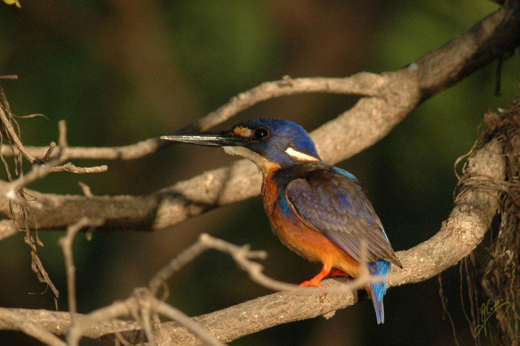 Azure Kingfisher.