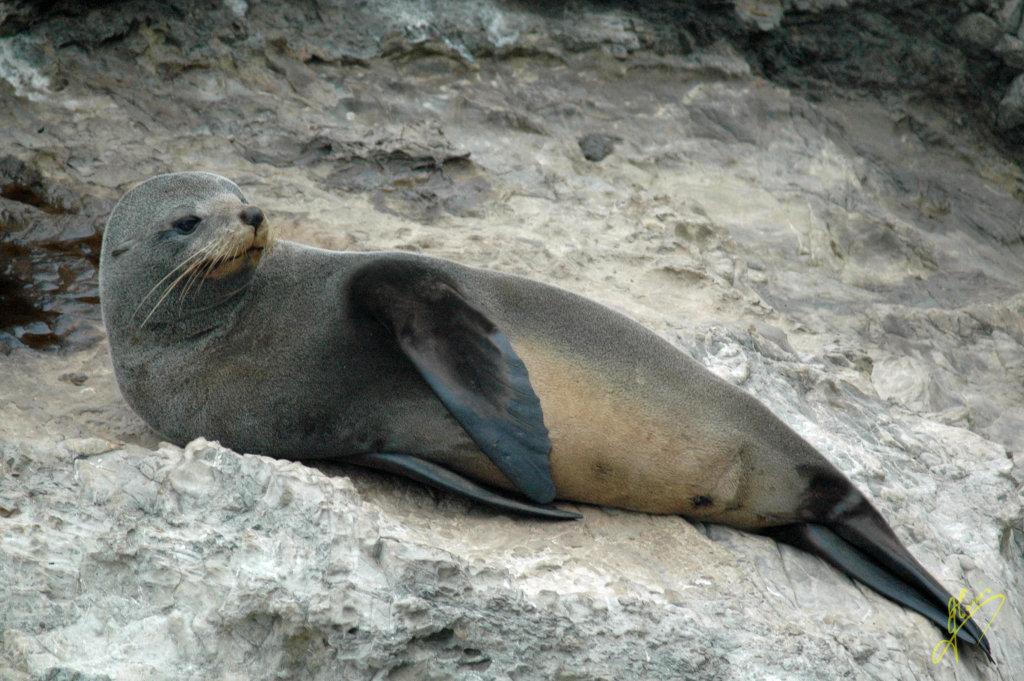 New Zealand Fir Seal.