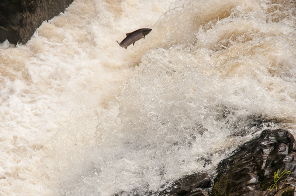 Salmon at Bridge of Feugh.