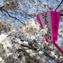 Cherry blossom along Megurogawa canal