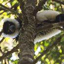 Black and white ruffed lemur