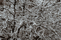 Branches and Snow