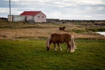 Horses - Reykjanes Peninsula