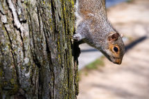 Squirrel, on way to White House