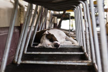 Sleeping Dog at Railway Station