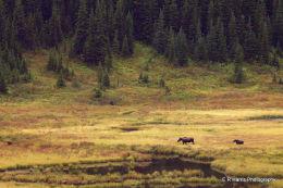 Moose and Calf  BC