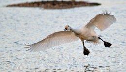Bewick,s Swan