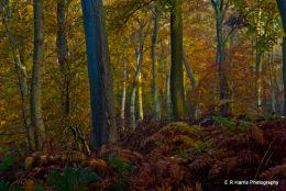 Ipsden Woods - Oxon
