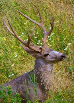 White - tailed Mule Deer