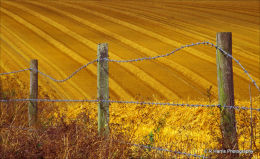 barbed wire & straw 1