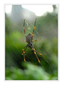 Golden Orb Spider, New South Wales