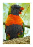 Rainbow Lorikeet, Queensland.