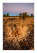 Termites favourite, Spinifex Grass, Northern Territory.