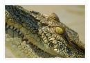 Young female estuarine crocodile, Northern Territory.