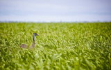 Emu in the oats