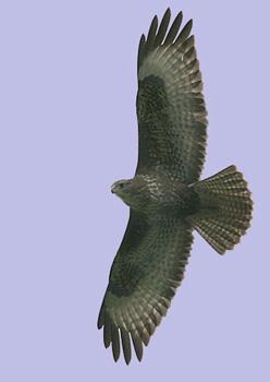 Common Buzzard  Buteo buteo