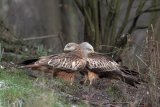 Red Kites in Chilterns woodland