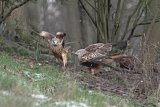 Red Kites on ground in woodland