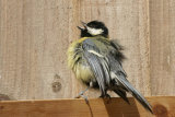 Great tit in the sun