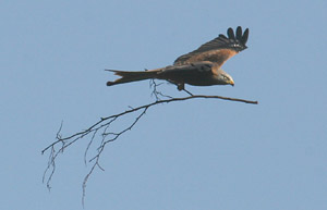 Flying with a large twig