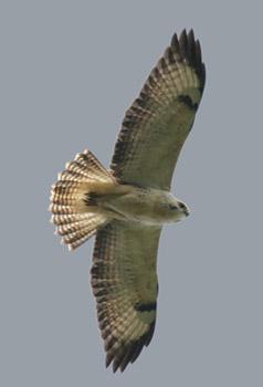 Pale Common Buzzard