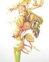 Aceras Anthropophorum