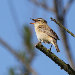 Sedge Warbler, Cley, North Norfolk