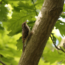 Treecreeper, Hickling Broad, Norfolk