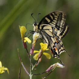 Swallowtail Butterfly, Hickling Broad, Norfolk