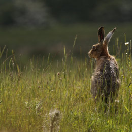 Brown Hare, Hickling Broad, Norfolk