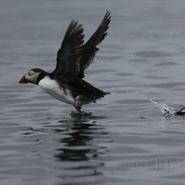 Puffin taking flight, Farne Islands, Northumbria