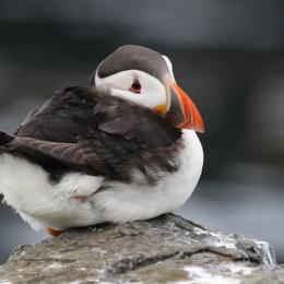 Puffin, Staple Island, Northumbria