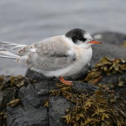 Juvenile Arctic Tern, Inner Farne, Northumbria