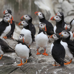 A posse of Puffins, Inner Farne, Northumbria