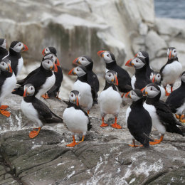 Puffins, Inner Farne, Northumbria