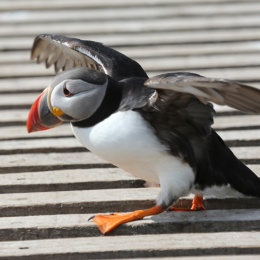 "Puffin ""mind your step"", Inner Farne, Northumbria"