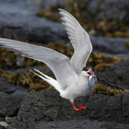 Arctic Tern with pipe fish, Inner Farne, Northumbria