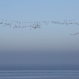 Pink footed geese in flight, Holme, North Norfolk