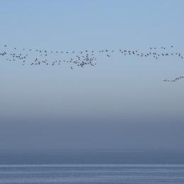 Pink footed geese in flight, Holme, North Norfolk