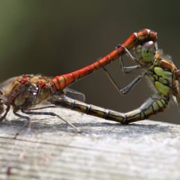 Common Darter's mating