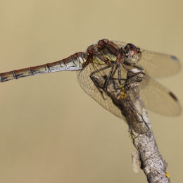 Common Darter, Holme, North Norfolk