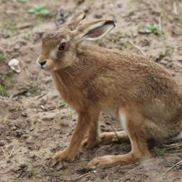 Hare, Holme NWT Reserve, North Norfolk