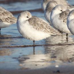 Sanderling, Titchwell, North Norfolk