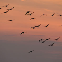 Pink-footed Geese at dusk, Holkham, North Norfolk