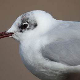 Black-Headed Gull, Salthouse, North Norfolk