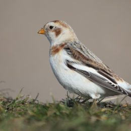 Snow Bunting, Salthouse, North Norfolk