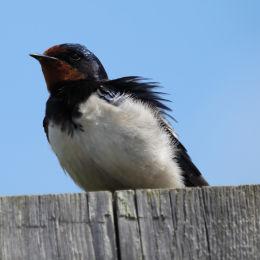 Swallow, Welney WWT