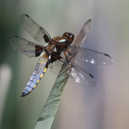 Broad Bodied Chaser
