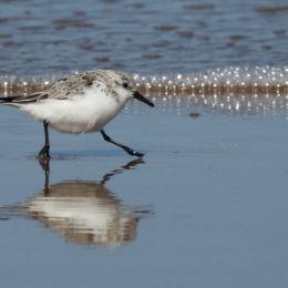 Sanderling along shoreline, Titchwell Beach, North Norfolk
