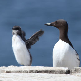 """Just stretching my wings"" juvenile Guillimot, Farne Islands, Northumbria"